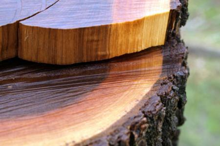 Walnut tree/where walnut hardwood flooring comes from