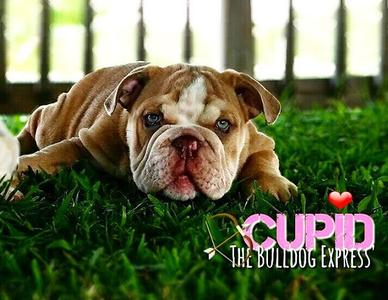 lilac fawn English bulldog stud