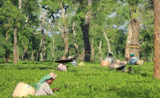 Tea Tour in Assam