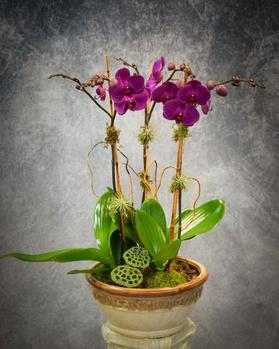 Beautiful triple stemmed purple phalaenopsis orchid plant with curly willow branches and lotus pods.