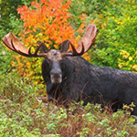 Maine Moose in the Fall