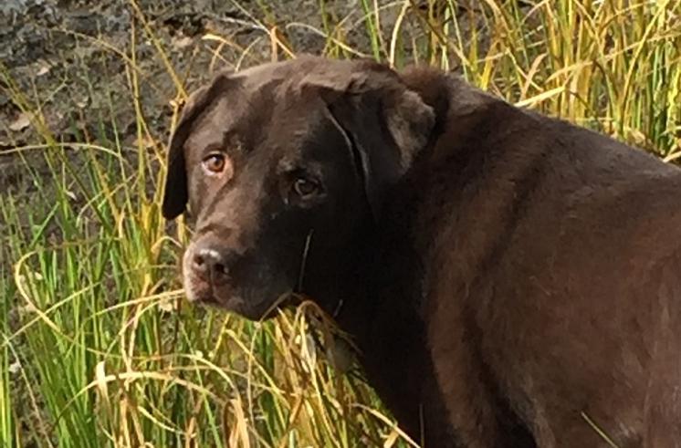 Massachusetts Labrador Retriever Breeder - Georgetown Labradors
