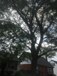 deadwooding tree service, tree canopy with large over growth,hamilton tree service