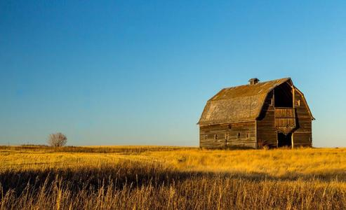 Landscape of an old barn in a field of wheat