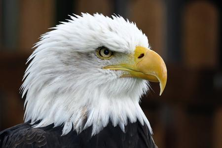 photo of bald eagle's head looking right, brown and black background