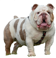 Lilac Tri Merle English bulldog