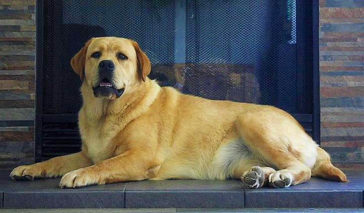 Battleborn Labradors Labrador Puppies For Sale English Labrador