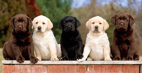 Massachusetts Labrador Retriever Breeder Georgetown