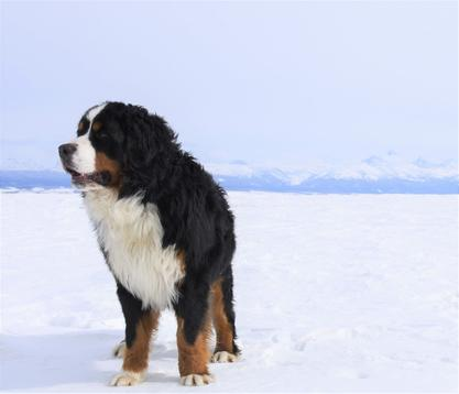 Bernese Mountain Dog - Utah Bernedoodles