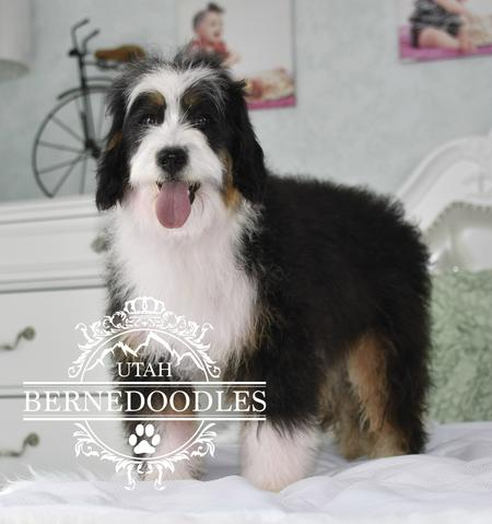 Adult-Mini-Bernedoodle