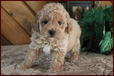 Rolling Meadows Puppies for sale