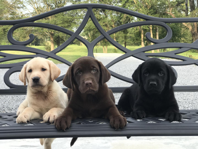 Bama Labs - Selling Labrador Retrievers, Breeding Labrador