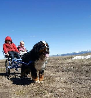 Bernese Mountain Dog Pulling Cart with kids