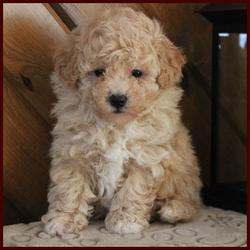Crystal's Rolling Meadows Puppies dark apricot bichon poodle puppy