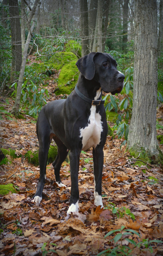 Grand Mimieux European Great Danes