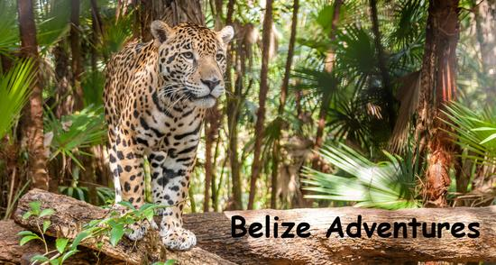 A jaguar in the Belize rain forest. Belize Adventures