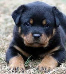 Motley Dog Dog Training LLC cut rottie puppy training