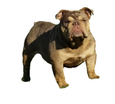 Chocolate Tri Merle English bulldog