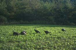Kentucky Turkey Season