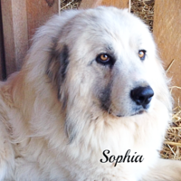 Sophia Wells Providence Great Pyrenees