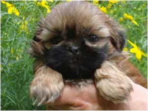 Country Home Shih Tzu Puppies Puppies For Sale Teacups Puppies
