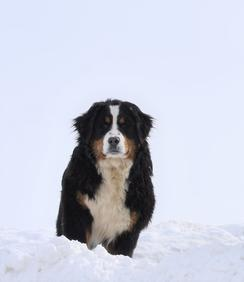 Melody Bernese Mountain Dog