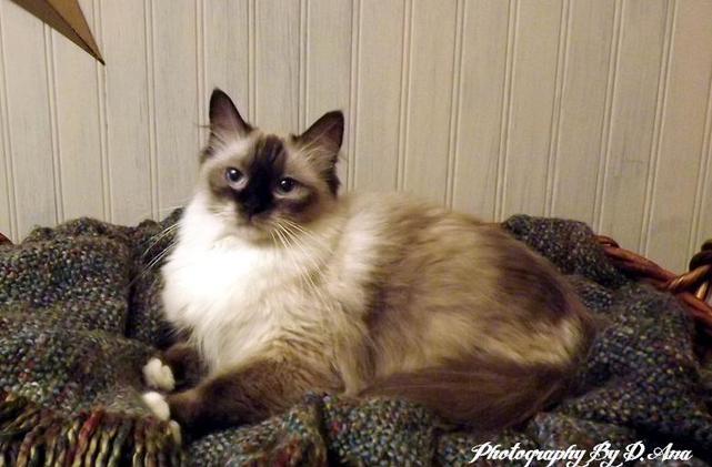 Abbey Road Rags Ragdoll Kittens For Sale Ragdoll Cats For Sale Ragdoll Cat Breeders