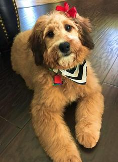 Indy Sable Mini Bernedoodle