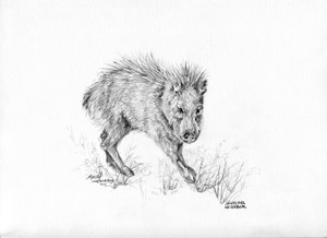 Javelina Neighbor, Davis Mountains wildlife in a graphite drawing by Fort Davis artist Lindy Cook Severns