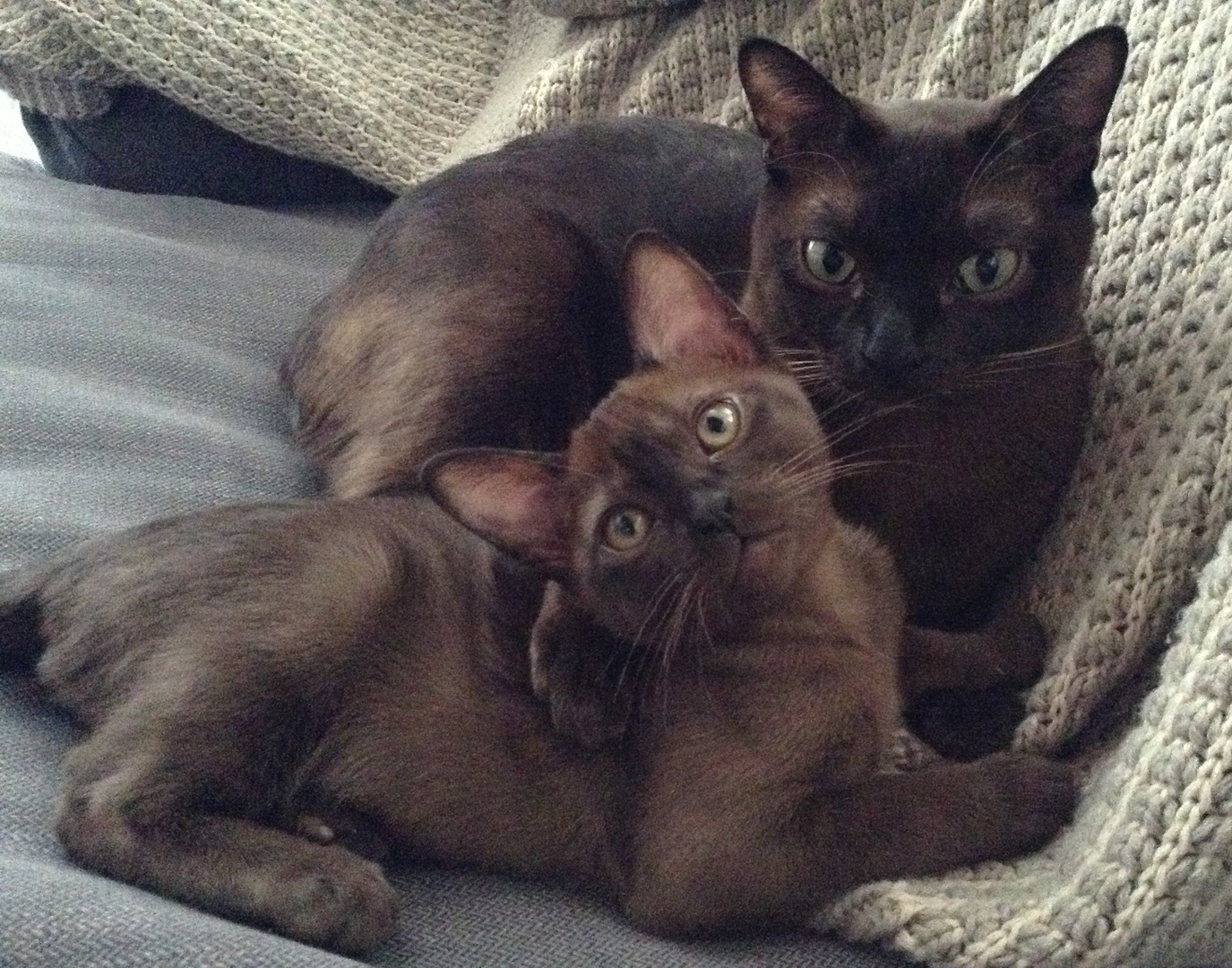 House of Burmese Cats