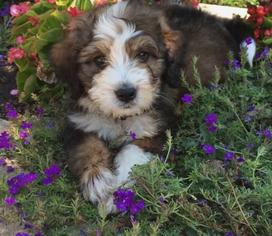 sable bernedoodle baby