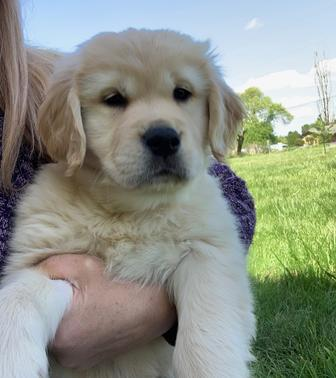 Golden Retriever - Golden Retriever Puppies for sale