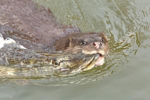 Otter with Pike,Dean Eades BirdMad Wildlife Photography Courses Tours and Holidays, National Geographic,BBC