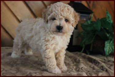 bichpoo female puppy