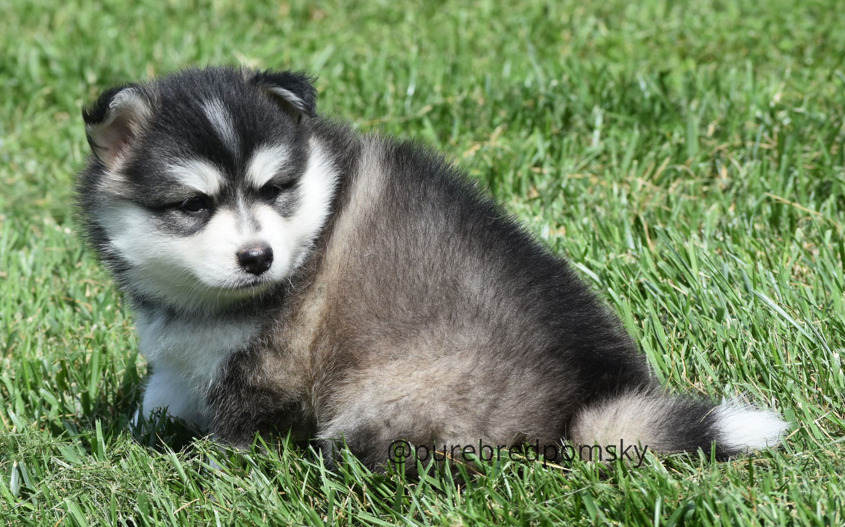 Pomsky Puppies For Sale - Registered and Pedigreed
