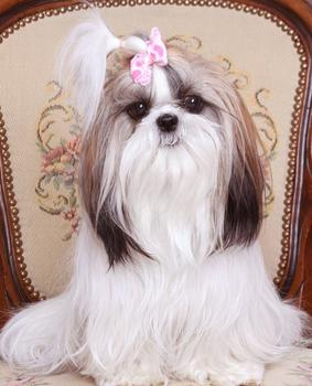 Sweetwater Shih Tzu is proud to be licensed by the Minnesota Board of Animal Health