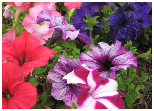 Petunias for Color
