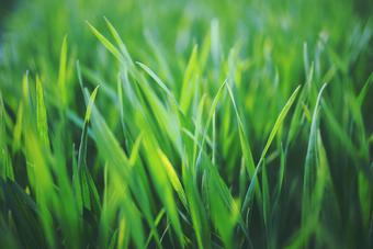 California Turf & Landscaping: Landscapers and landscaping design company - close-up picture of grass