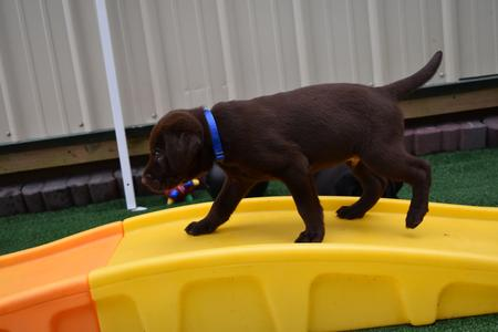 raising a chocolate lab puppy