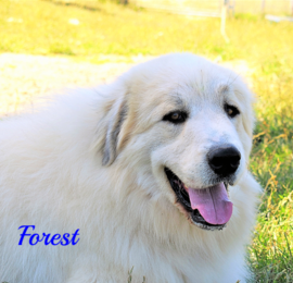 Forest Wells Providence Great Pyrenees