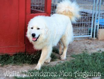 Lina Wells Providence Great Pyrenees