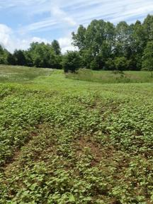 cowpeas food plot