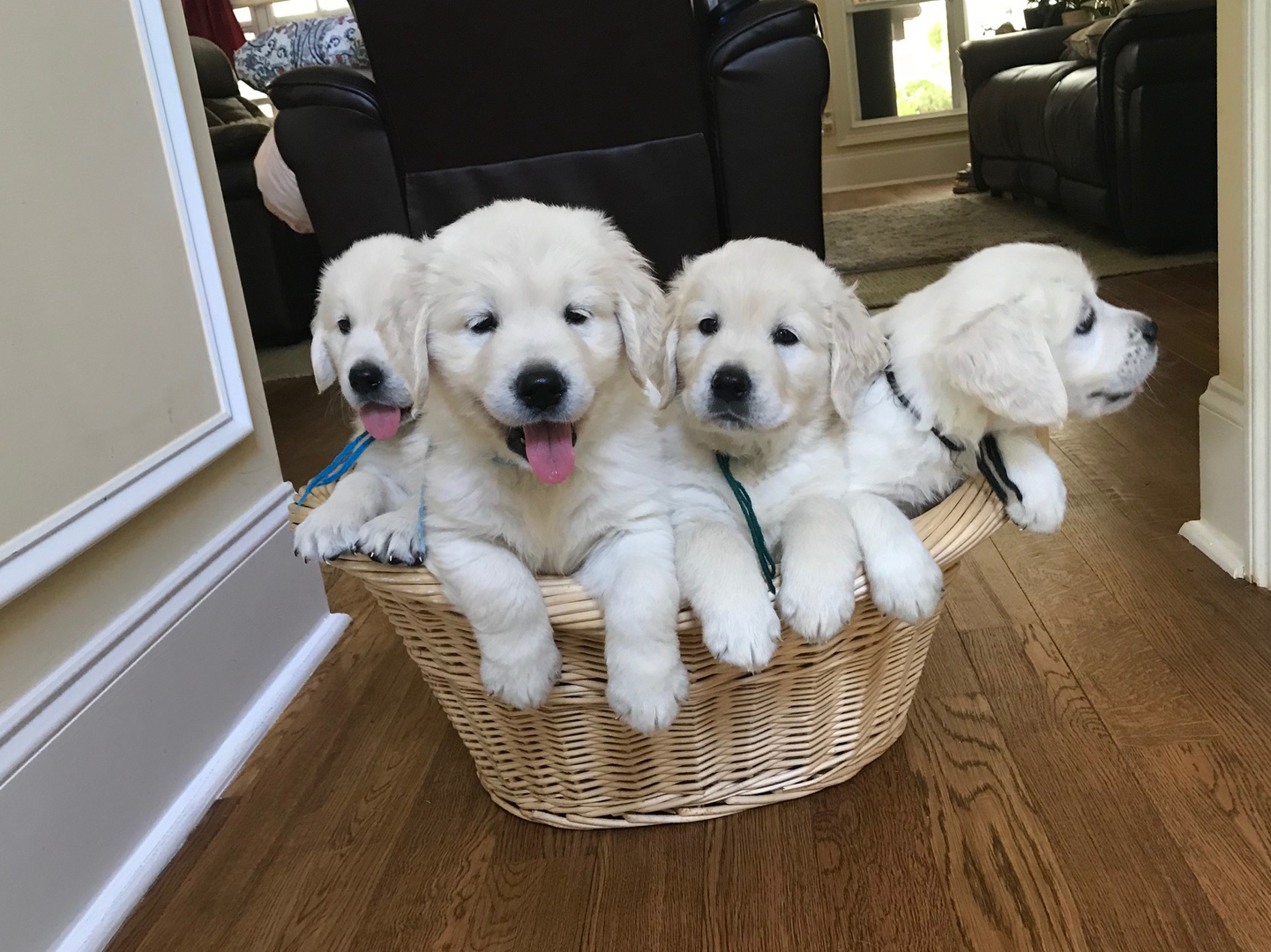 Upcountry Goldens - Home