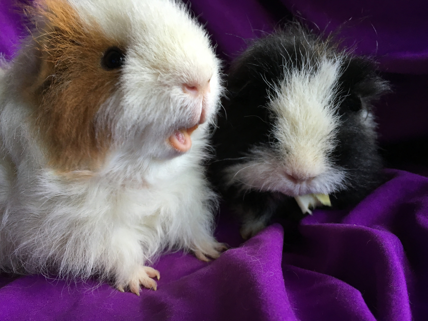 Can Guinea Pigs Have Blueberries