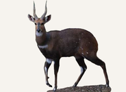 Bushbuck Central African Republic