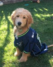 Seattle Seahawks, Goldendoodle, Teddy bear goldendoodles, Portland, Seattle,