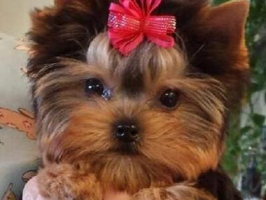 Top Quality Yorkie Puppies Top Quality Yorkshire Terrier Puppies