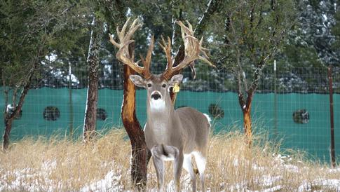 Whitetail Deer Breeding