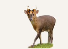 Hunting Muntjac Deer United Kingdom