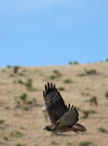 Hawks and eagles soar above Old Spanish Trail Studio in the Davis Mts of West TX